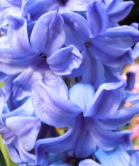 Hyacinth5