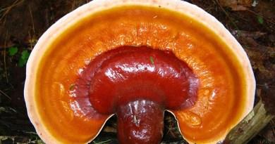 """Ganoderma lucidum, que se vende en China como el extracto para la """"salud y la longevidad"""", logra reducir el peso, y alterar las bacterias intestinales."""