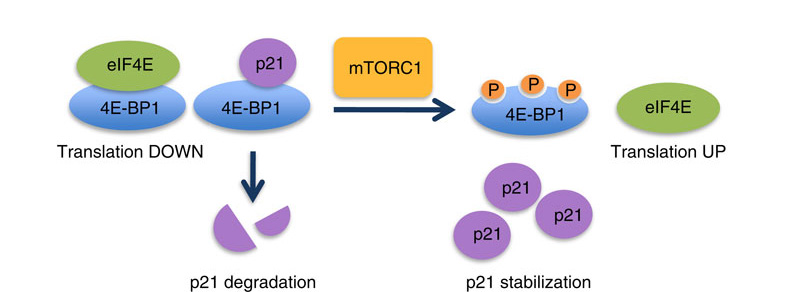 Modelo para la regulación de p21mediada por mTORC1/4E-BP1: La 4E-BP1 no fosforilada se une a la p21 y promueve su degradación. La fosforilación de 4E-BP1 por mTORC1 destruye el complejo / 4E-BP1/p21 permitiendo la acumulación de p21. La 4E-BP1 regula la p21 independientemente de su interacción con el factor de iniciación de la traducción eIF4E.