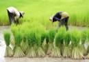 ¿Cómo disminuir el arsénico que contiene el arroz que consumes? | Por: @linternista