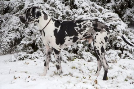 black-and-white-great-dane-in-the-snow