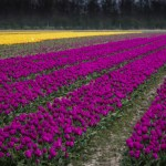 Dutch Tulips