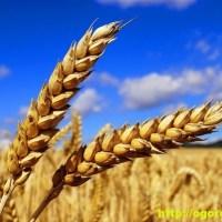 Пшеница - лечебные свойства и применение в народной медицине
