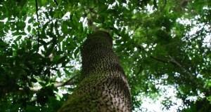 Бальзамовое дерево - свойства и применение в народной медицине