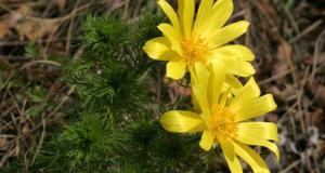 Адонис весенний - лечебные свойства, применение и рецепты