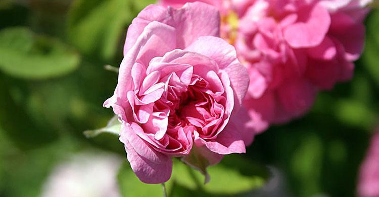 Роза крымская - состав, лечебные свойства и применение