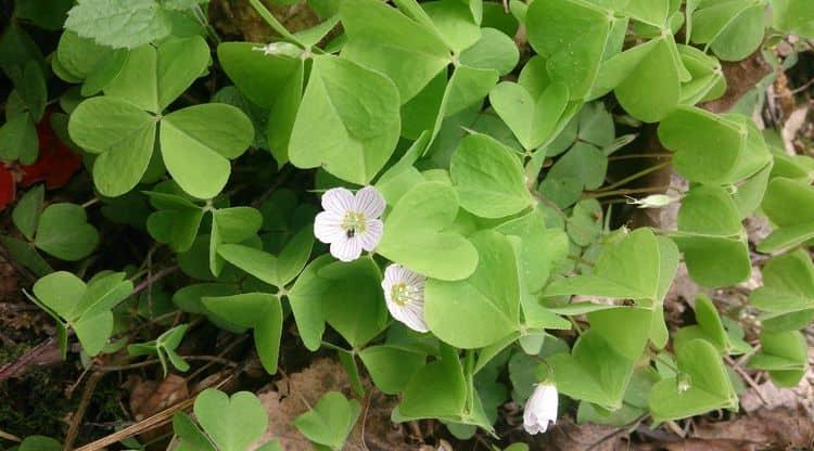 Заячья капуста - лекарственные свойства и применение в медицине