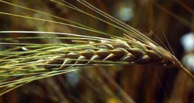 Ячмень - полезные свойства и применение в народной медицине
