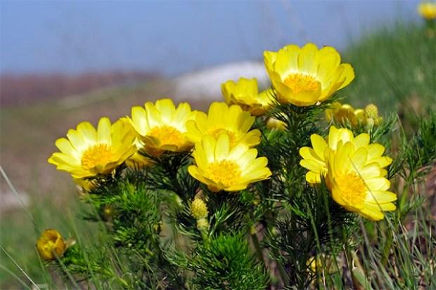 Горицвет весенний - лечебные свойства и применение