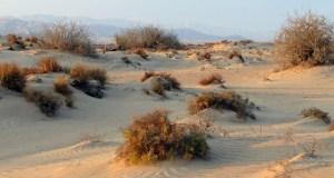 Верблюжья колючка - польза и применение в народной медицине