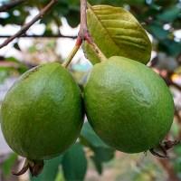 Гуаява - лечебные свойства и применение в народной медицине