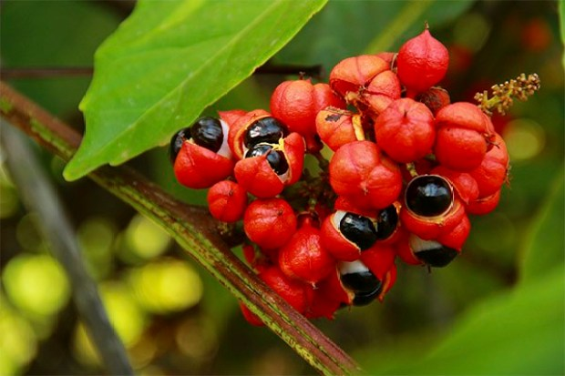 Гуарана - полезные свойства, состав и применение