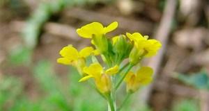 Желтушник серый - лечебные свойства и применение в медицине