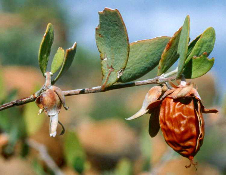 Жожоба - лечебные свойства и применение в народной медицине