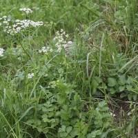 Бедренец-камнеломка: лечебные свойства и применение