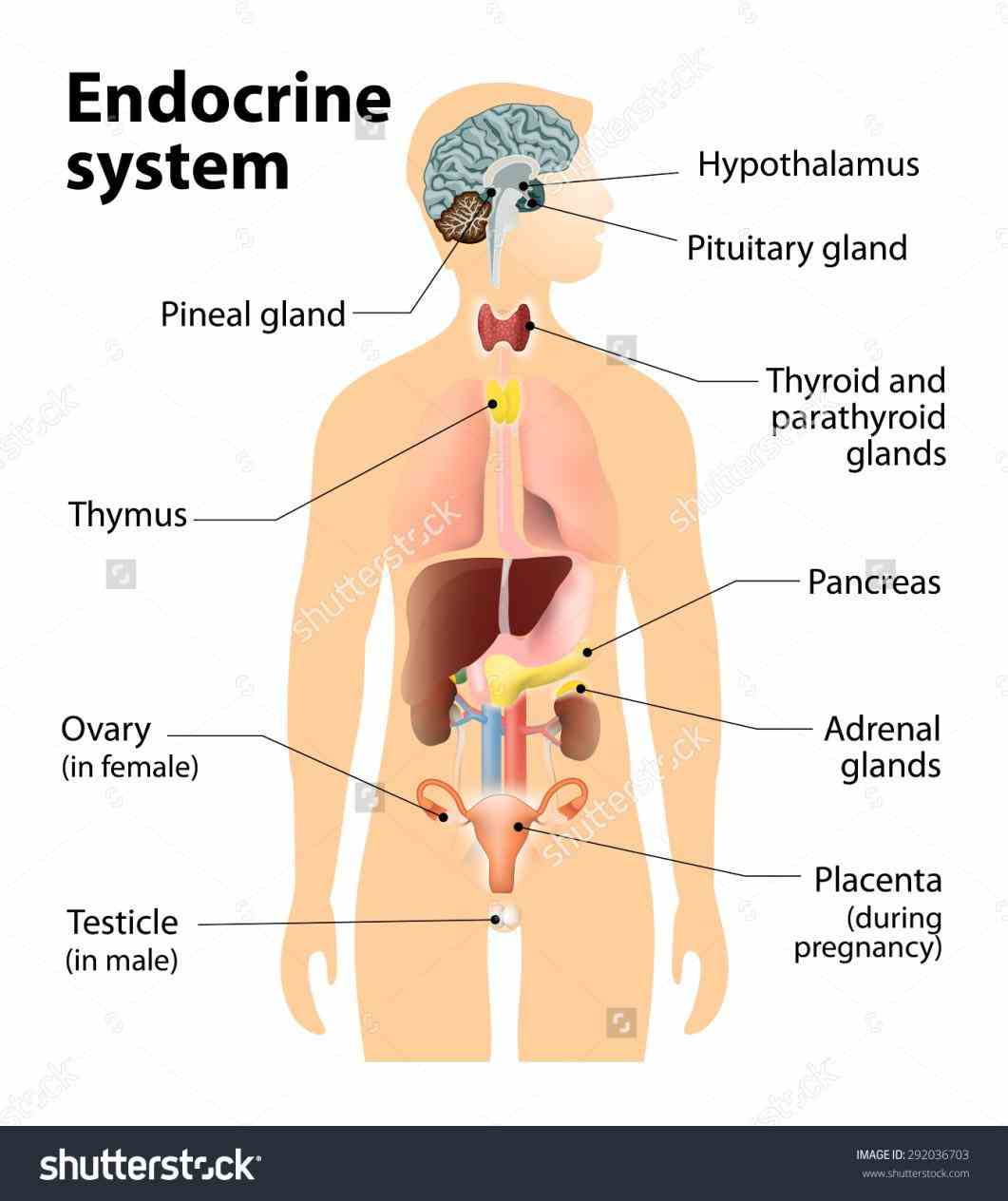 Endocrine System Organs And Their Functions