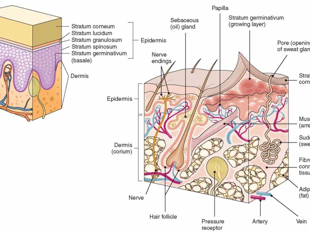 Picture Abr Integumentary System Parts And Functions