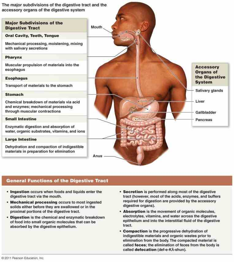 Location Of The Digestive System Anatomy | MedicineBTG.com