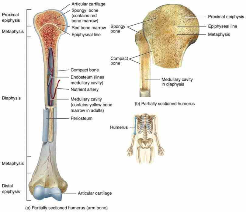 The diagram of a long bone could become your choice when making about bone. bone ch learn vocabulary terms and more with flashcards ...