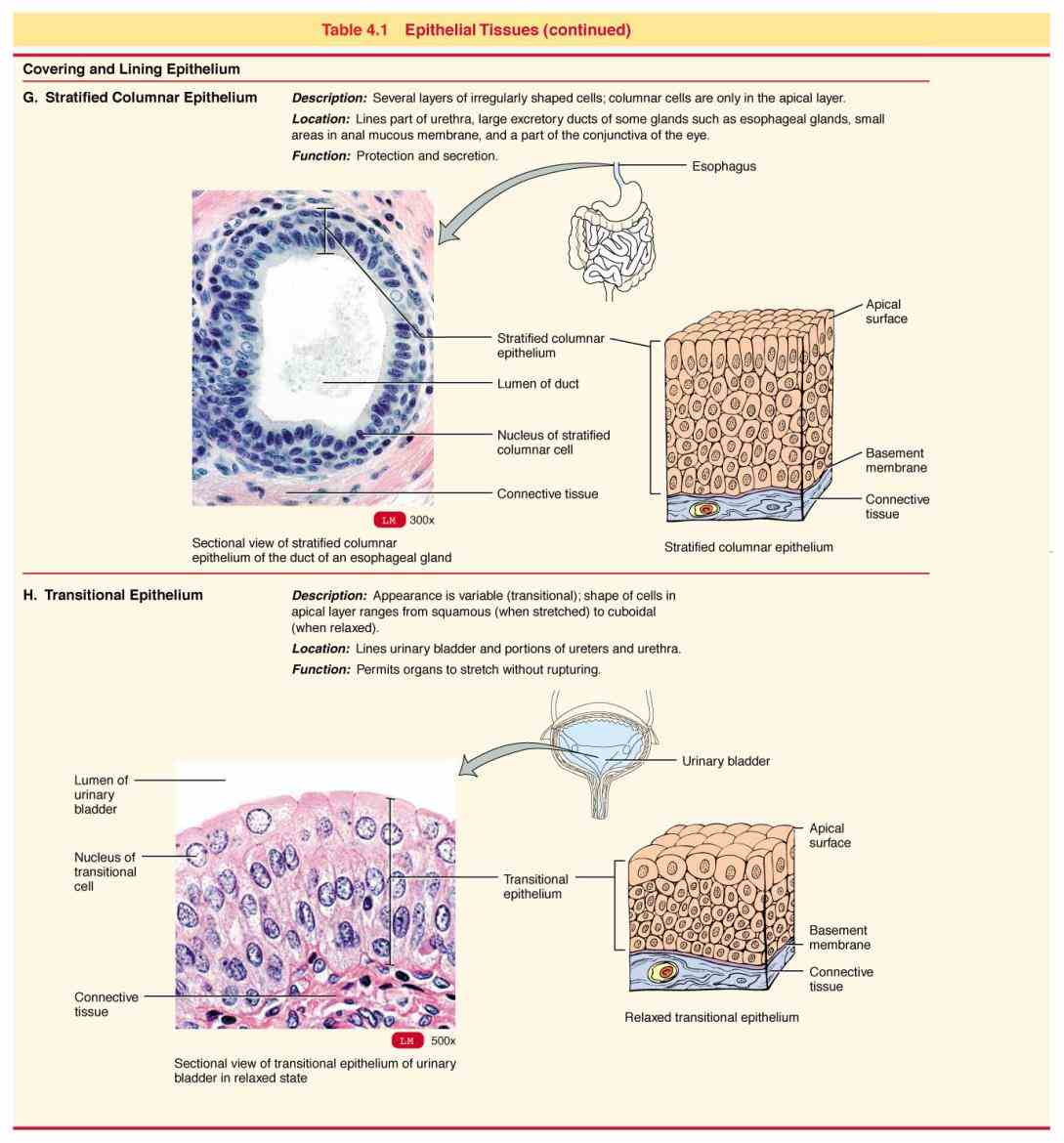 Epithelial Tissue Structure And Function
