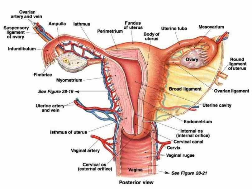 Urinary System Of A Bull