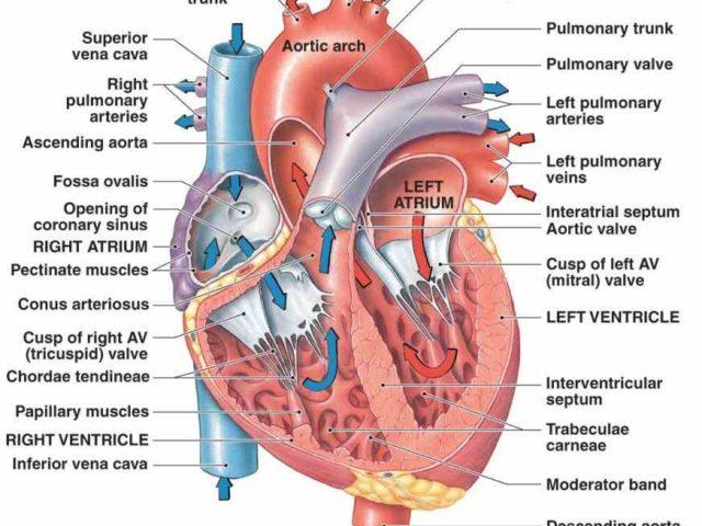 Label Heart Anatomy Diagram Label Heart Interior Anatomy