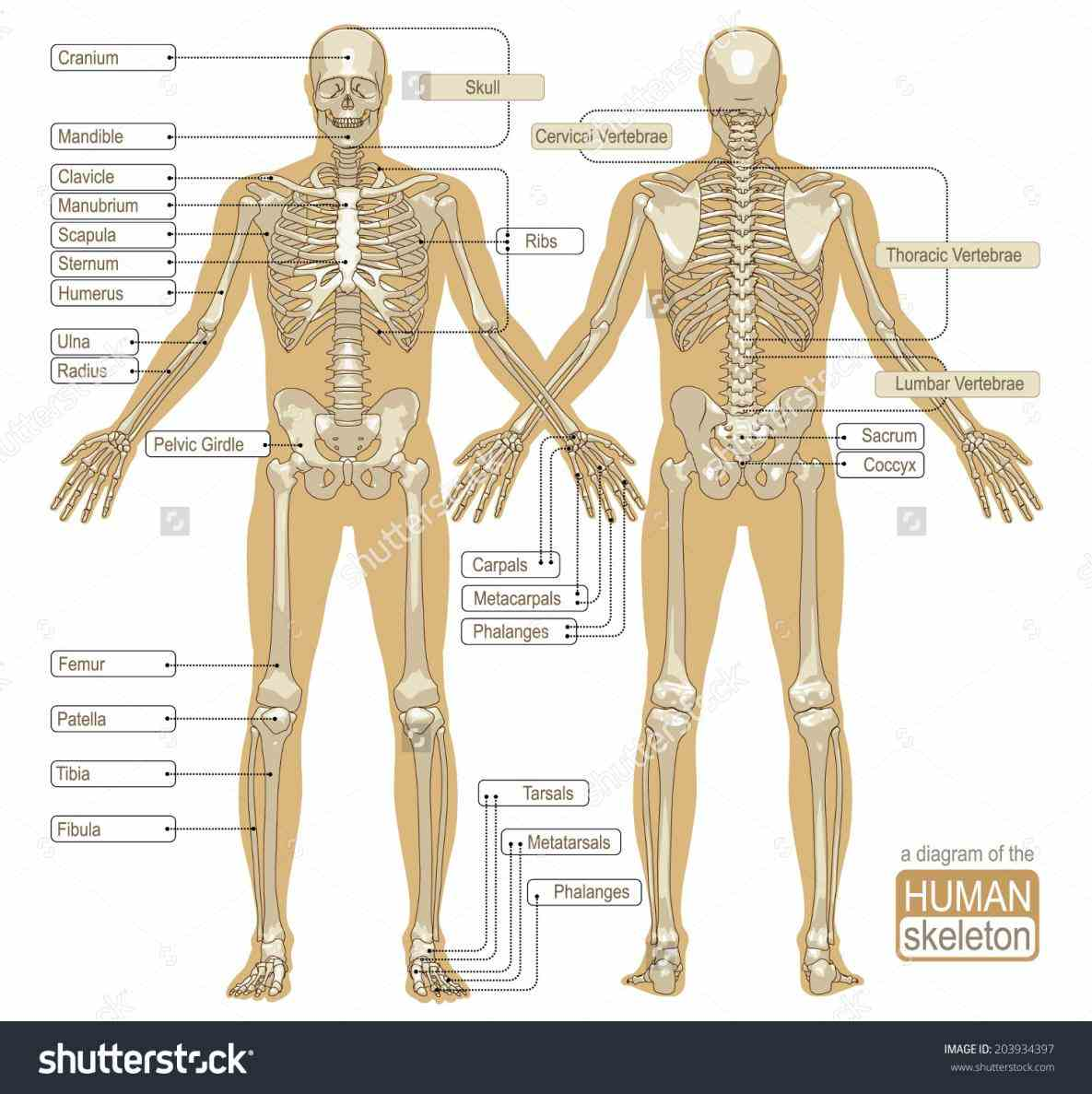 Parts Of The Human Skeletal System