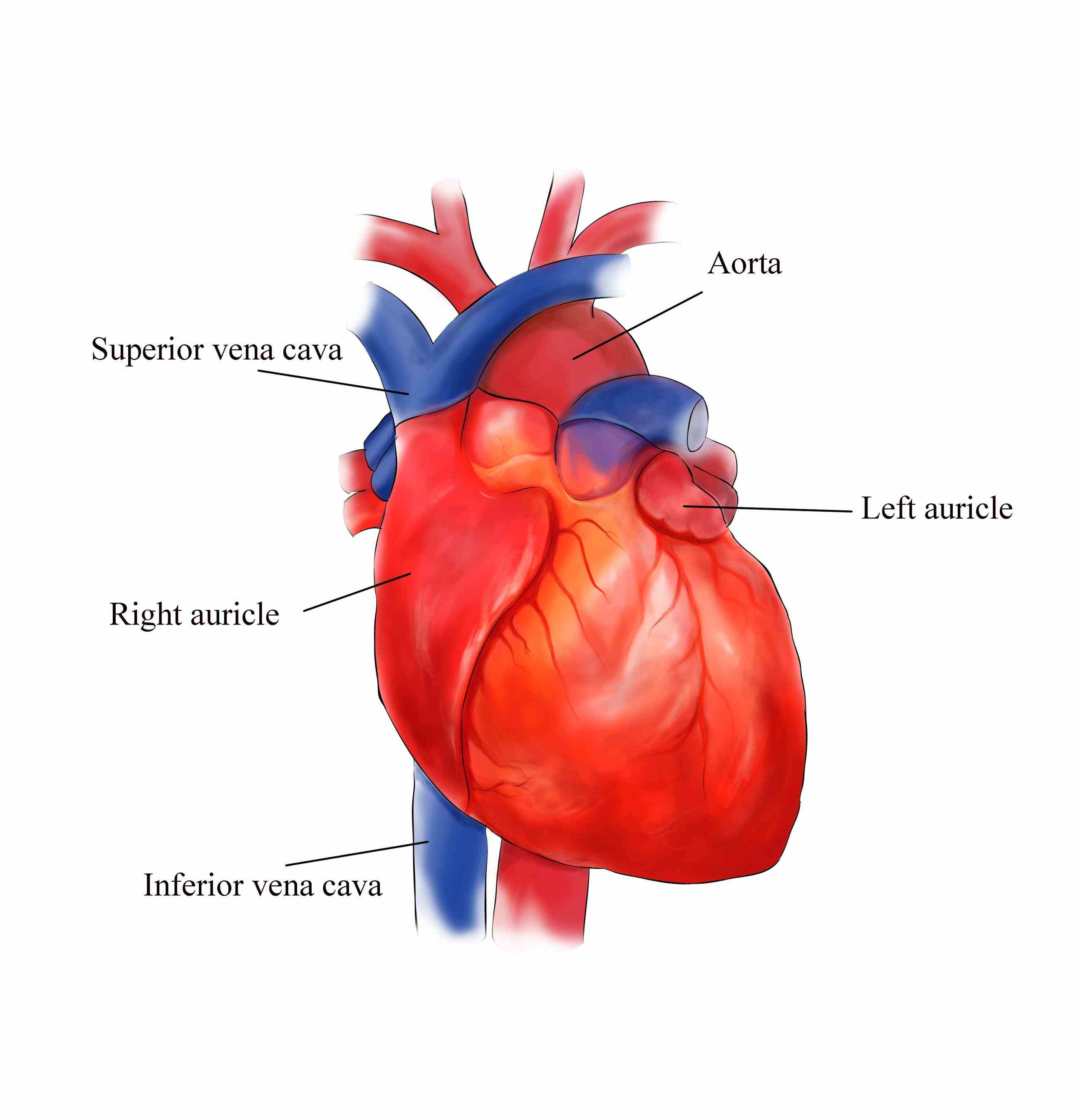 External Structures Of The Human Heart