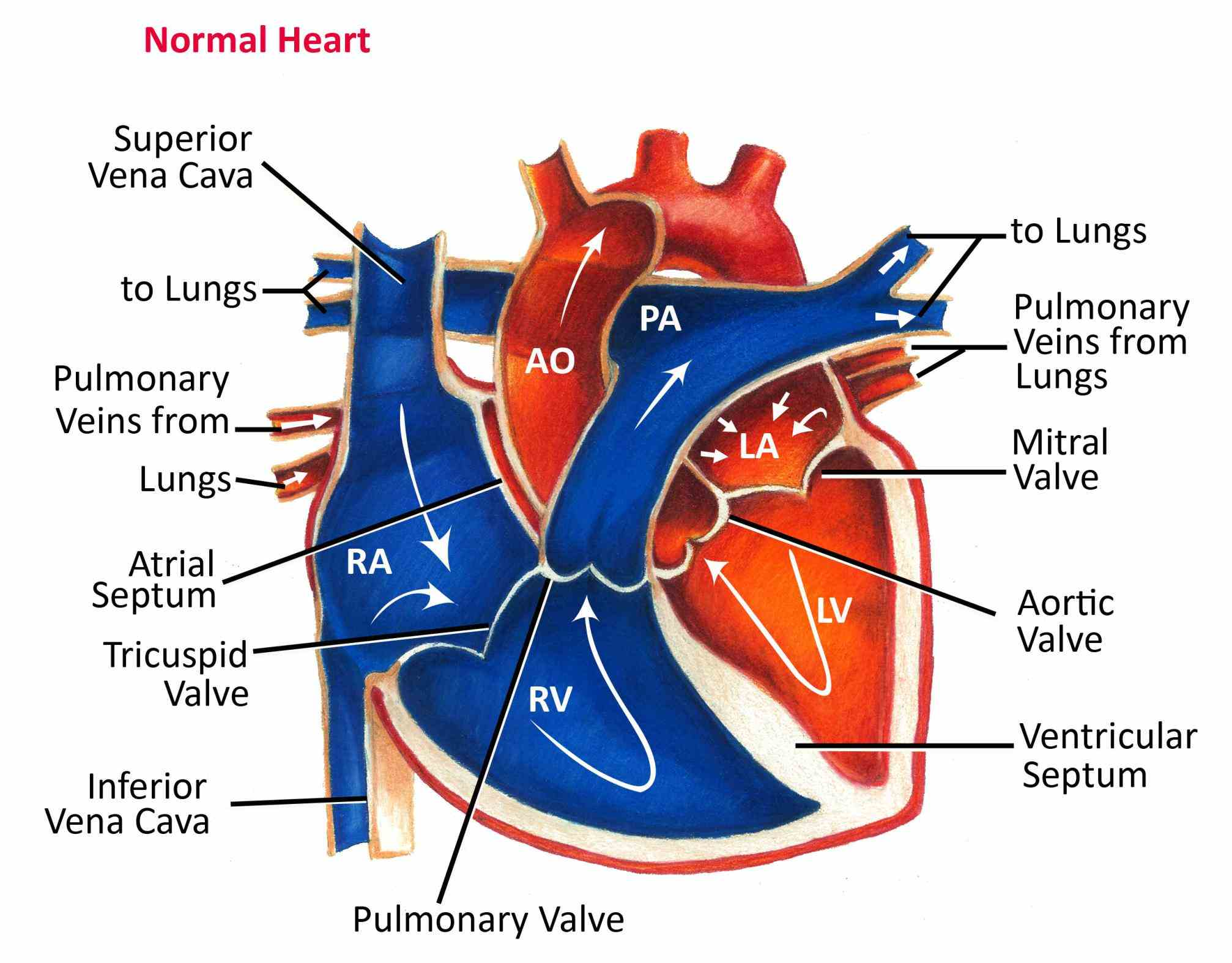 Labeled Diagram Of The Heart And Blood Flow
