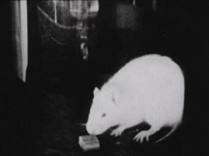 rat with pellet
