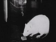Single rat with a pellet