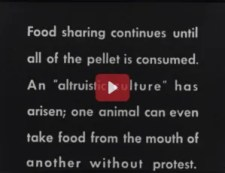 Title screen reads Food sharing continues until all of the pellet is consumed...