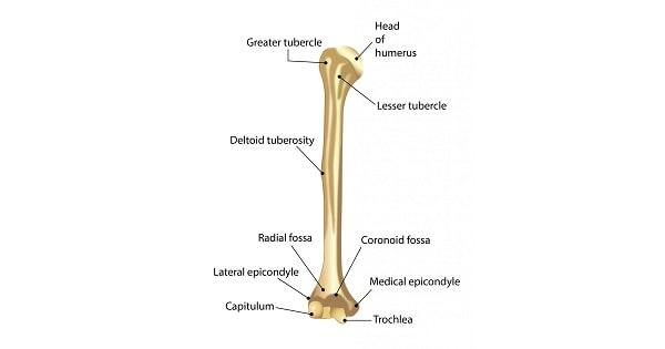 Humerus bone - www.medicoapps.org