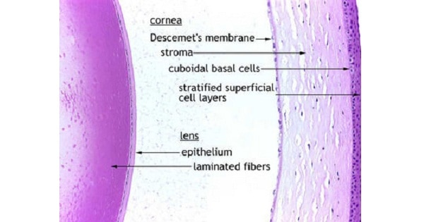 Histology Of Cornea