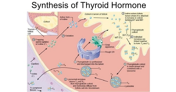 Synthesis Of Thyroid Hormone Www Medicoapps Org