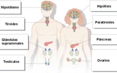 Sistema Endocrino: