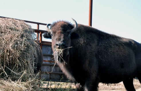 "A bull – the term for a male bison – grabs a bite to eat while in the coral. ""The prairie endures with grazers,"" says Jay Stacy, a volunteer at the Nachusa Grasslands, now home to 30 bison. The bison currently graze on a 500-acre area but by next year that should expand to 1,500 acres."
