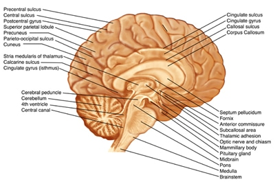 Scientific illustrations archives medical illustrations brain sagittal section with label and sulci gyri anatomy medical illustration copyrighted material illustrated by laura maaske medical illustrator ccuart Image collections