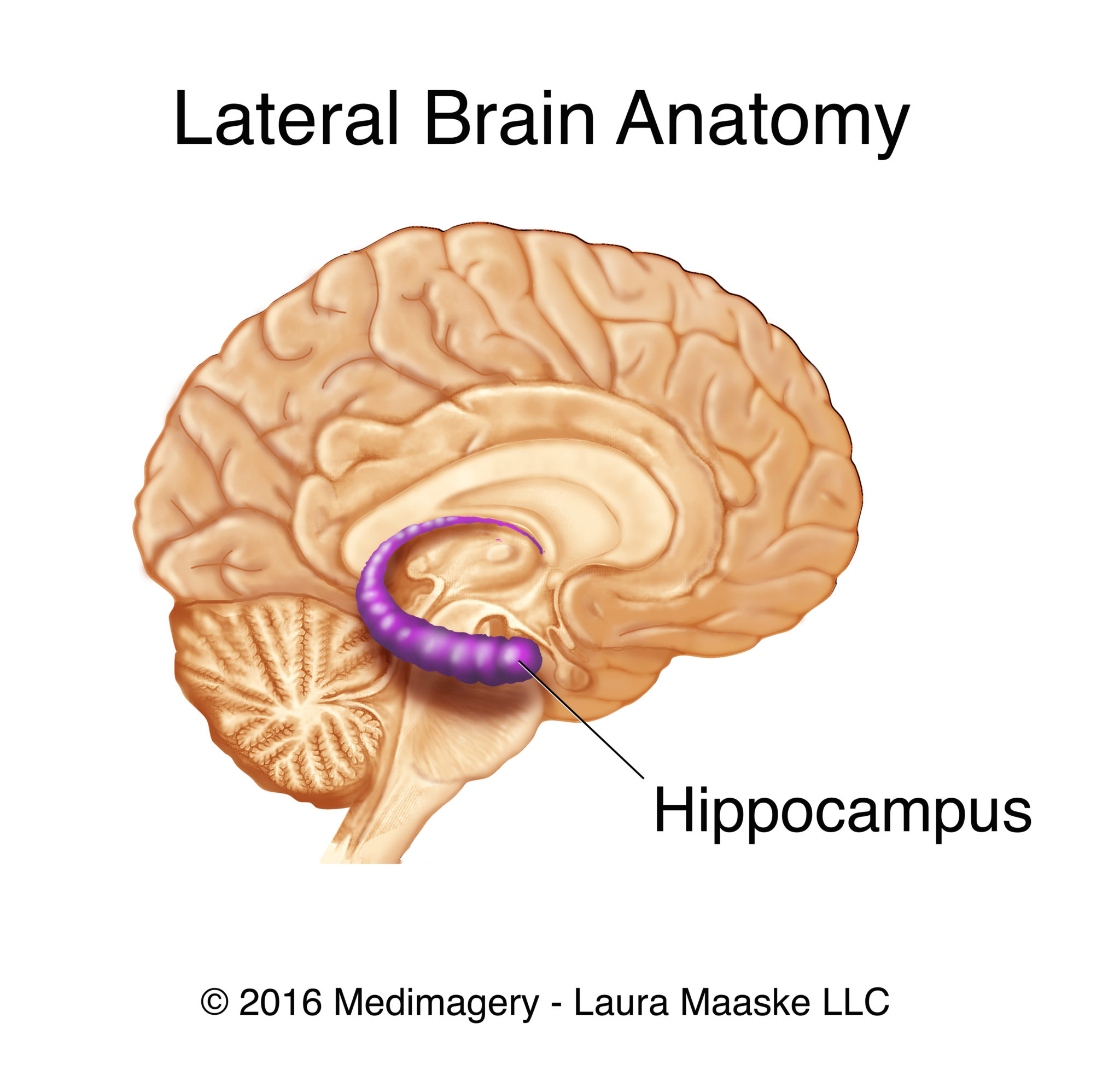 brain anatomy Archives - Medical Illustrations & Animations by Laura ...