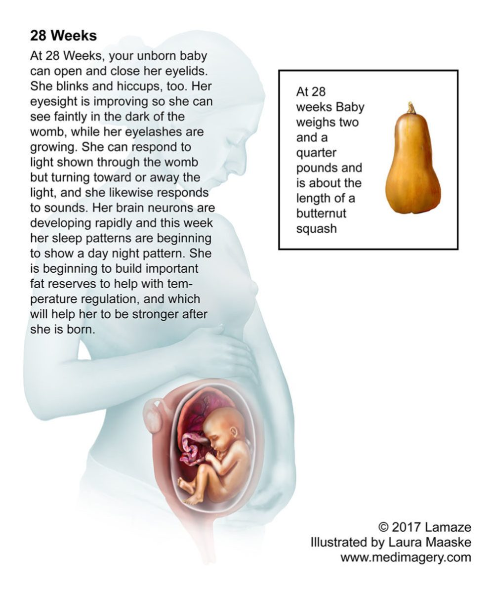 Human Embryo & Fetal Development- Fetus Illustration Size Comparisons