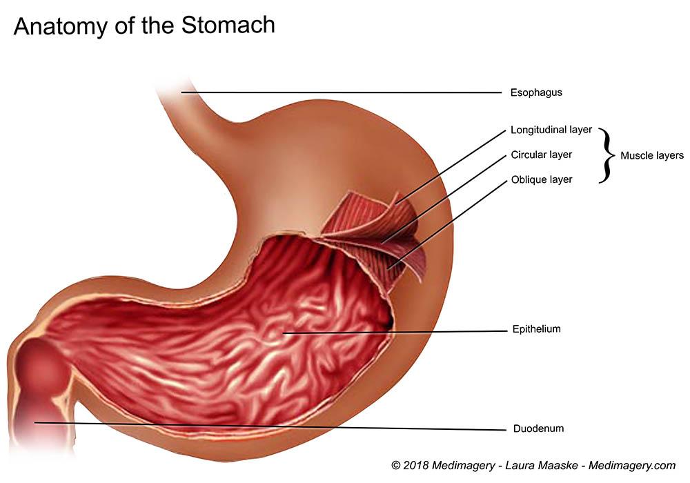 Stomach Layer Diagram Data Wiring Diagrams