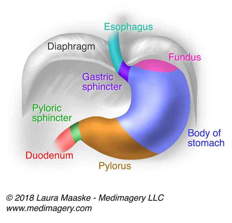 Illustrated Gastric Stomach Layers: 3 Layers Of The