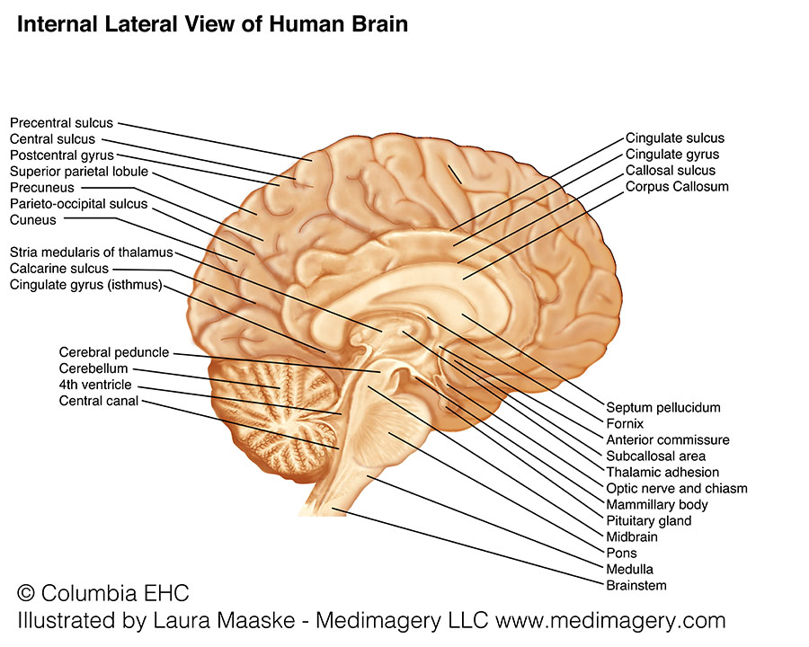Lateral brain anatomy archives medical illustrations animations brainstem pons medulla ccuart Images