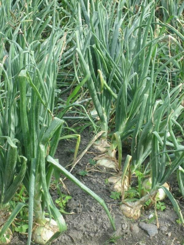 Cómo plantar cebollas. Ficha completa g