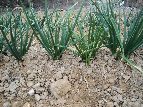 Cómo plantar cebolletas. Ficha completa b