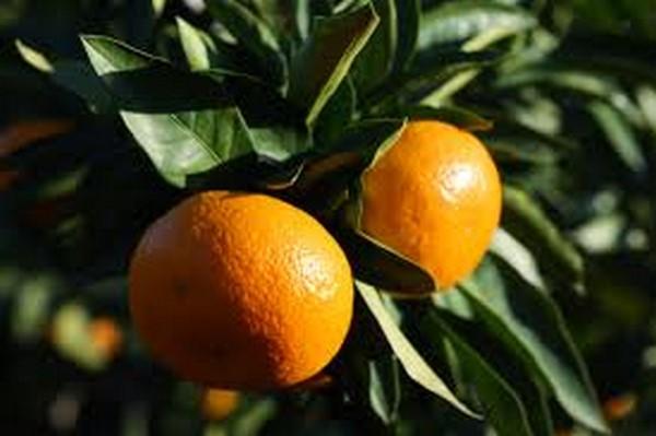 Cómo plantar mandarinas. Ficha completa f