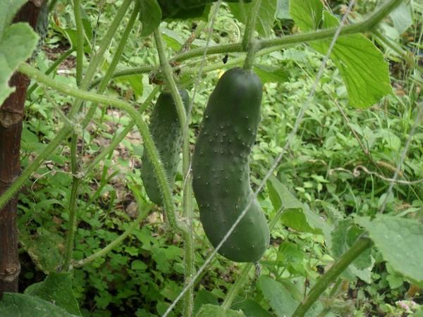 Cómo plantar pepinos. Ficha completa b
