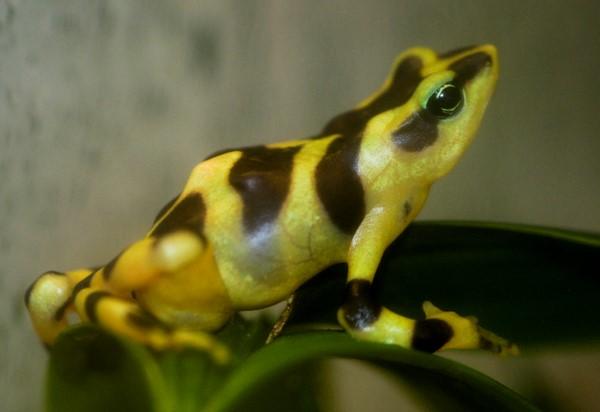 Rana amarilla venezolana o Atelopus carbonerensis c