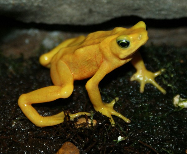 Rana dorada de Panamá o Atelopus zeteki