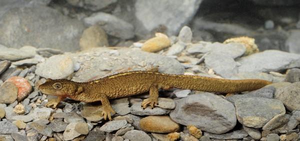 Tritón del Montseny o Calotriton arnoldi v